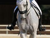 Dressage: portrait of gray horse — Stock fotografie