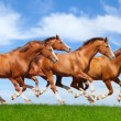 Four sorrel stallions gallop — Stock Photo