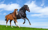 Black mare and sorrel foal gallop — Stock Photo