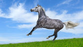 Dapple-gray arabian galloping horse — Stok fotoğraf