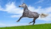 Dapple-gray galopujących koni arabskich — Zdjęcie stockowe