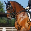 Dressage: portrait of bay horse — Stock Photo