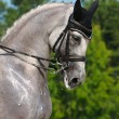 Equestrian sport - portrait of dressage gray horse - Stock Photo