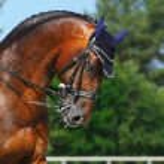 Equestrian sport - portrait of dressage horse — Stock Photo