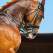 Equestrian sport - portrait of dressage horse — Stock Photo