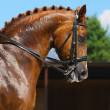 Equestrian sport - portrait of dressage horse - Stock Photo
