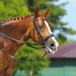 Equestrian sport - portrait of relaxation horse - Stock Photo