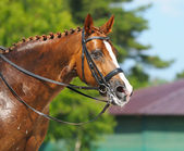 Equestrian sport - portrait of relaxation horse — Stock Photo