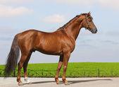 Sorrel Don stallion — Stock Photo