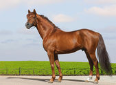 Sorrel Don stallion — Stock Photo