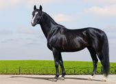 Black Trakehner stallion — Stock Photo
