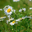 Flowers in summer time — Stock Photo #5458589