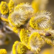 Blooming willow closeup - Photo