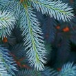 Blue spruce tree closeup - Photo