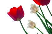 тюльпаны на белый — Стоковое фото