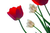 Tulips on a white — Stock Photo