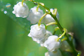 Lily of the valley closeup — Stock Photo