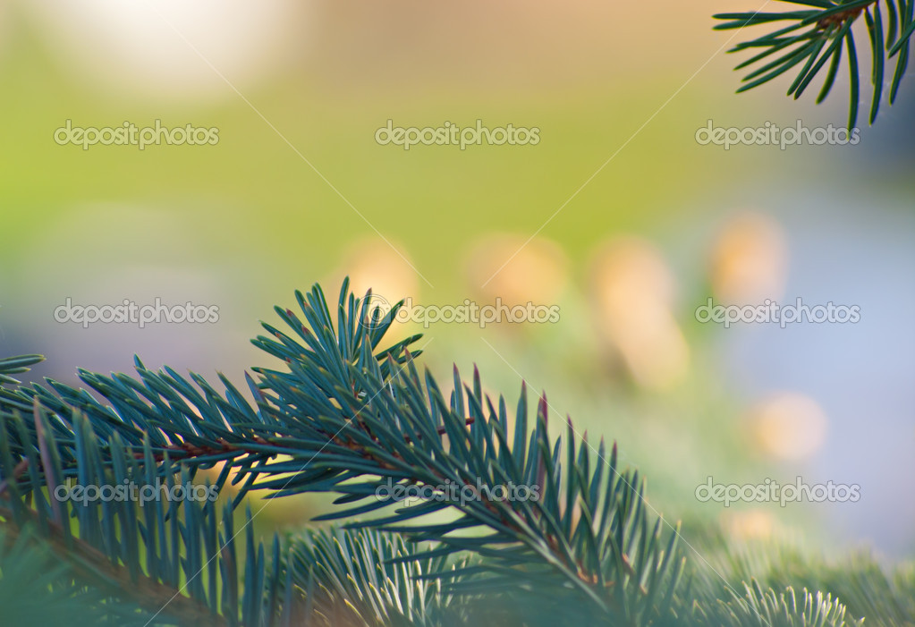 Beautiful blue spruce-up shots. Natural background. — Stock Photo #5774012