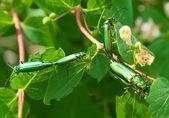 élevage des coléoptères verts — Photo
