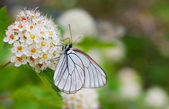 Big white butterfly — Foto Stock