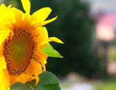 Sun Flower closeup — Stock Photo