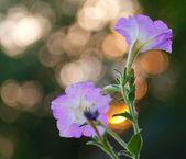 Beautiful flowers at sunset — Stock Photo