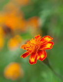 Vibrant color of orange flowers — Stock Photo