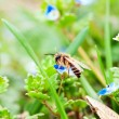 Bee on blue flower — Stock Photo
