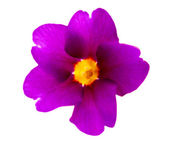 фиолетовый цветок — Стоковое фото