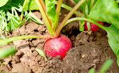 Czerwona rzodkiewka — Zdjęcie stockowe