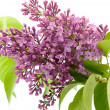 Branch of lilac — Stock Photo #5608298