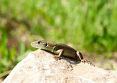 Lizard basking — Stock Photo