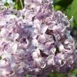 Stock Photo: Blossoming Lilac