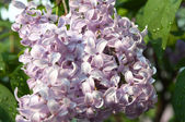 Bloeiende lila — Stockfoto