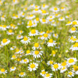 Stock Photo: Medical daisy