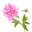 Pink peony — Stock Photo #5723822
