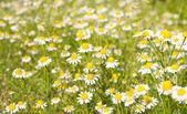 Medical daisy — Stock Photo
