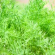 Royalty-Free Stock Photo: Dill