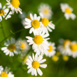 Medical daisy — Stock Photo