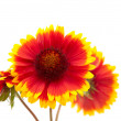 Stock Photo: Gaillardiflower