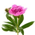 Pink peony — Stock Photo #5782962