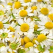 Chamomile flowers — Stock Photo #5805337