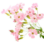 Delicate pink flowers — Stock Photo