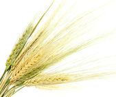 耳朵的黑麦 — 图库照片