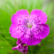 Perennial carnation — Stock Photo