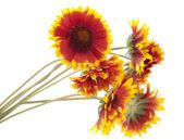 Gaillardia flower — Stock Photo