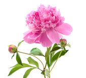 Peônia-de-rosa — Foto Stock