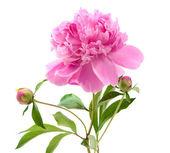 Różowa piwonia — Zdjęcie stockowe