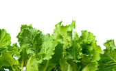 Lettuce leaves — Stock Photo