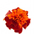 Marigold flowers — Photo